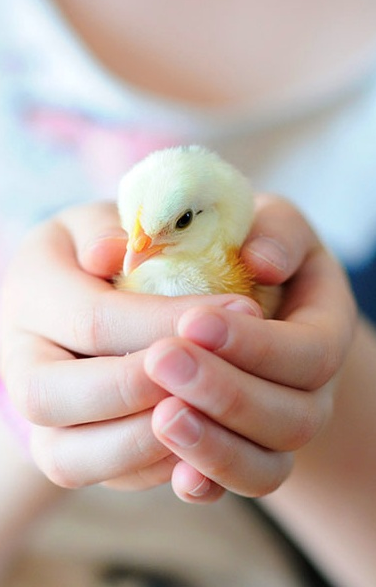 how to raise friendly chickens