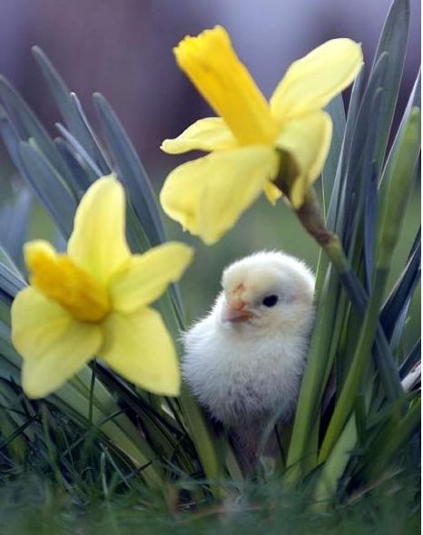 chicks22