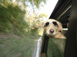 dog-in-car-with-wind-blowing-behind-him-pet-safety-tips-when-traveling-blog-post-photo