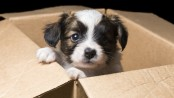 puppy-in-box-620x350