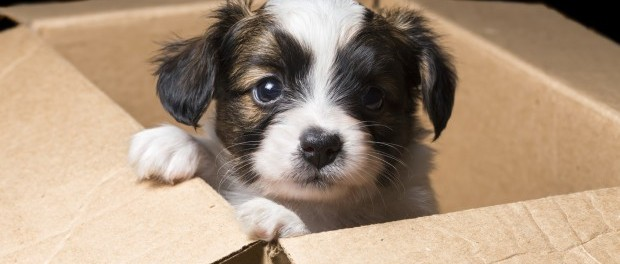 puppy-in-box-620x350